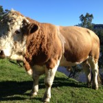 We breed Simmental Cattle