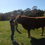 We Breed Limousin cattle