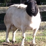 We Breed Dorper sheep